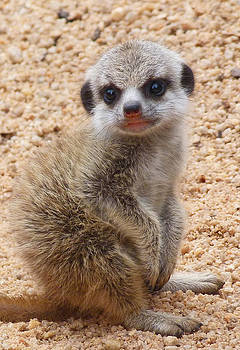Margaret Saheed - Demure Baby Meerkat