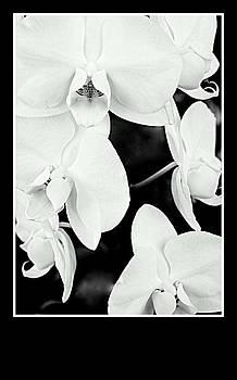 Rosemarie E Seppala - DENDROBIUM  PHALENOPSIS  ORCHIDS BLACK N WHITE