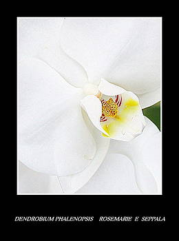 Rosemarie E Seppala - Dendrobium Phalenopsis White Orchids With Black Frame