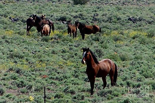 Desatoya Mountain Mustang Band by Craig Downer