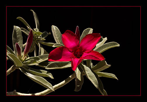 Desert Azalea by Wade Crutchfield