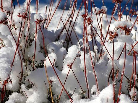 Desert Buckwheat in Snow by Diana Shay Diehl