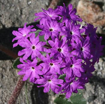 Desert Flower 6 by Gordon Larson