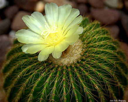 Desert Flower by Linda Tucker