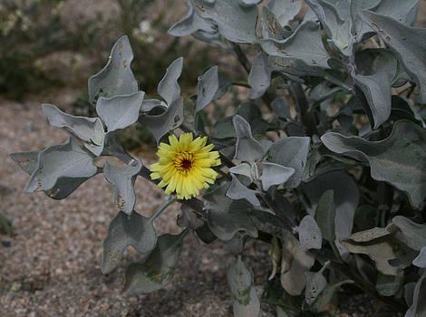Desert Flower14 by Gordon Larson