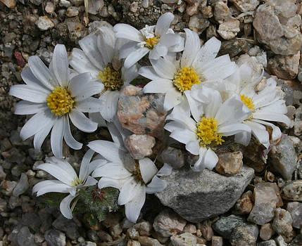 Desert Flowers 12 by Gordon Larson