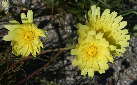 Desert Flowers 9 by Gordon Larson