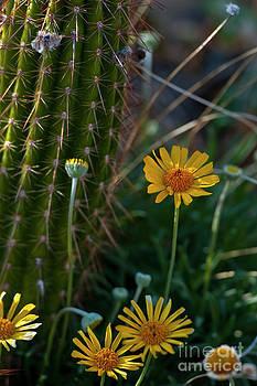 Rod Wiens - Desert Flowers