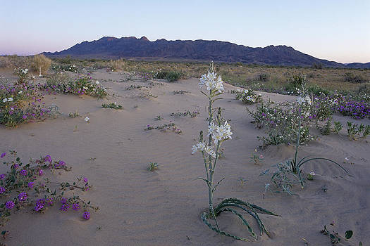 Susan Rovira - Desert Lily Sancturay