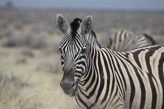 Desert Zebra by Gordon Donovan
