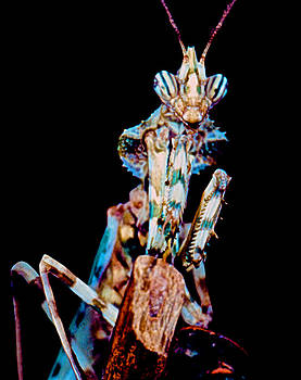 Devil Flower Mantis by Leslie Crotty