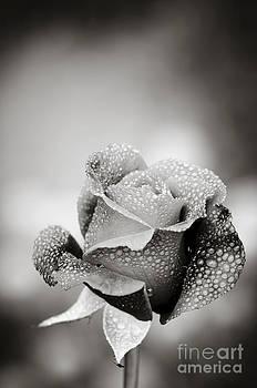Oscar Gutierrez - Dew covered rose