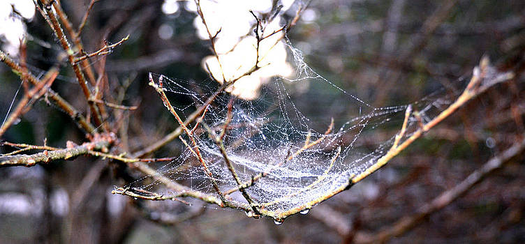 Dew Covered Spiderweb by Julie Cameron