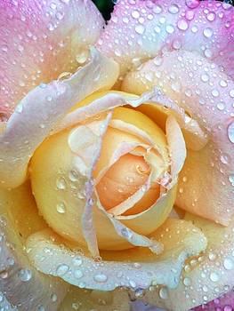 Dew drops on pastel rose petals by Dina Calvarese