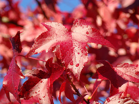 Baslee Troutman - Dew Drops Raindrops Red Autumn Leaves prints