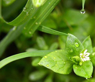 Dew by Mikki Cromer