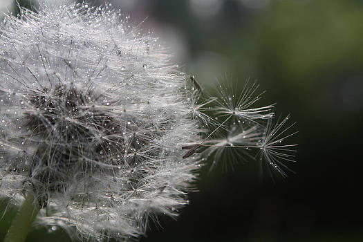 Cathie Douglas - Dew on Dandelion