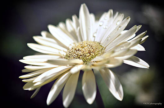 Dew on Gerbera by Karen E Camilleri