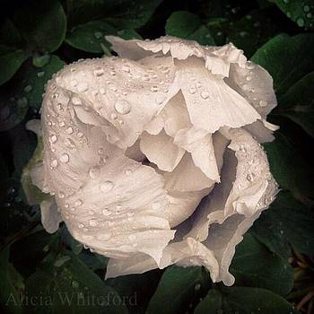 Dewy petals by Alicia Whiteford