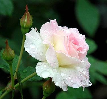 Dewy Rose by Paula Marie deBaleau