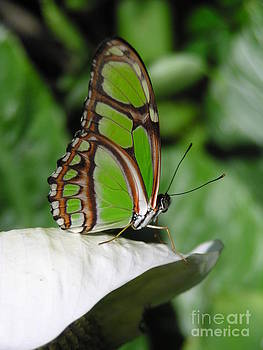 Christine Stack - Dido Longwing Butterfly