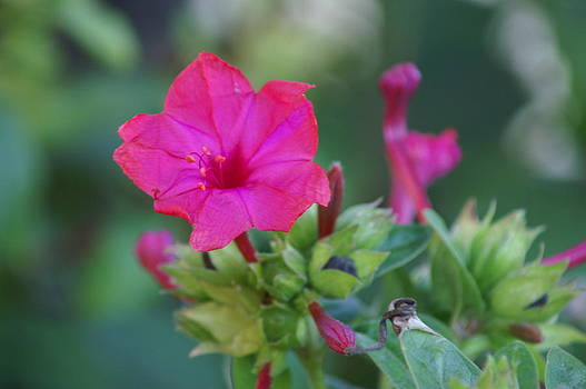 Diego De LA Noche-Blossom Of Red by Thomas D McManus