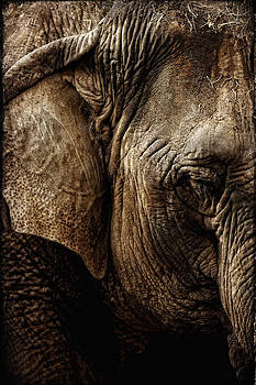 Dignity of Age in Asian Elephant Study by Lincoln Rogers