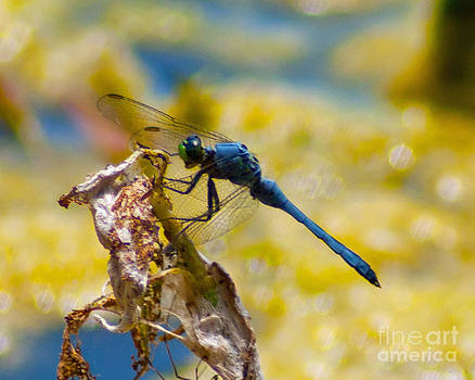 Stephen Whalen - Dining Dragonfly