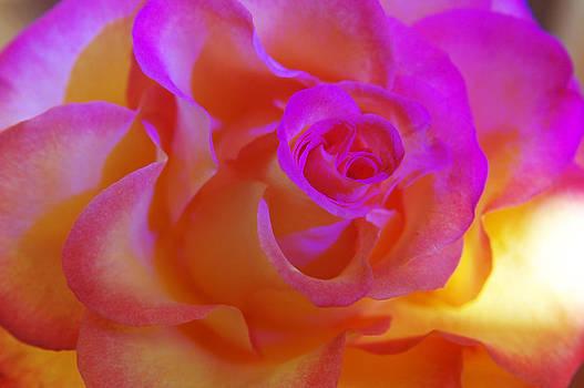 Disco Rose   by Etti PALITZ