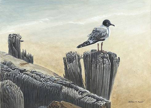 DISTANT SHORES-Bonaparte's Gull by Patricia Mansell