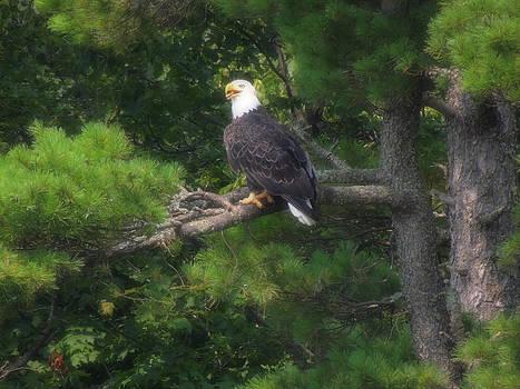 Distinguished Bald Eagle by Teresa Schomig