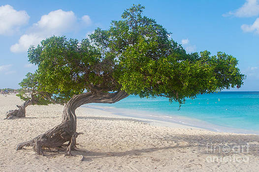 Divi Trees in Aruba  by A New Focus Photography