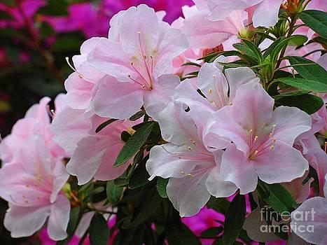Divine Pink Azalea by Halyna  Yarova