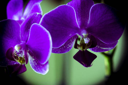 Dk Purple Orchids of the Night by Sheree Lauth
