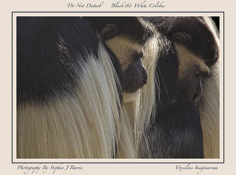 Stephen Barrie - Do Not Disturb    Black and White Colobus