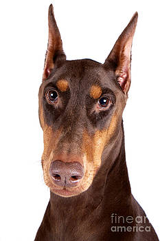 Doberman Portrait by Mike Mulick