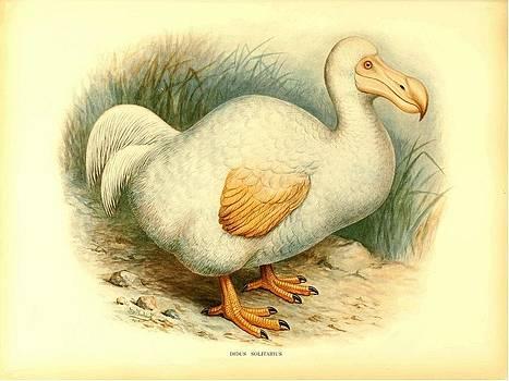 Dodo Bird Didus Solitarius by Little Vintage Chest