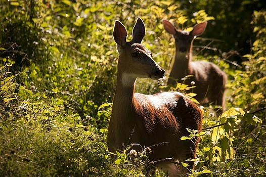 Doe and fawn by Martin Cooper