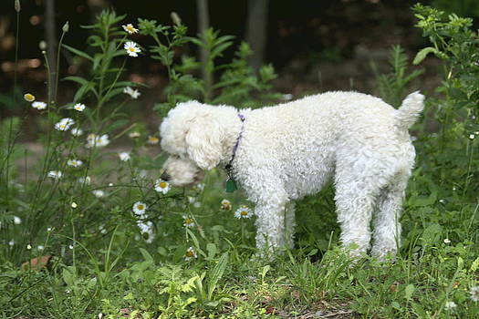 Dog smelling daisies by Carolyn Reinhart