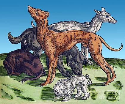 Science Source - Dogs Historiae Animalium 16th Century