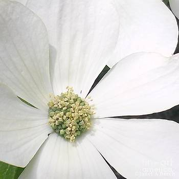 Dogwood 3 by Janet Berch
