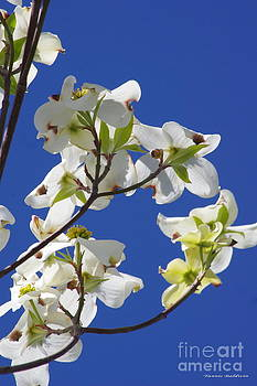 Dogwood beauty by Tannis  Baldwin