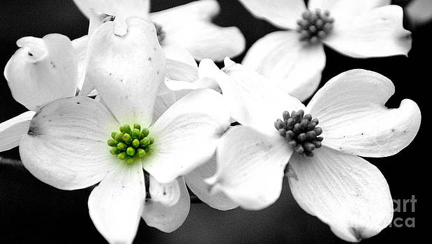 Dogwood Blooms by Christy Phillips