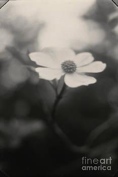 Dogwood Blossom by C E Dyer