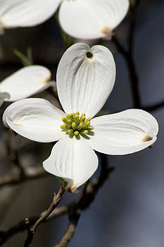 Dogwood Blossom by CE Haynes