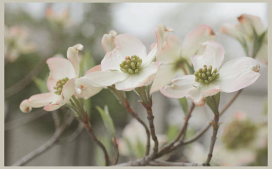 Dogwood Blossoms by Beverly Cazzell