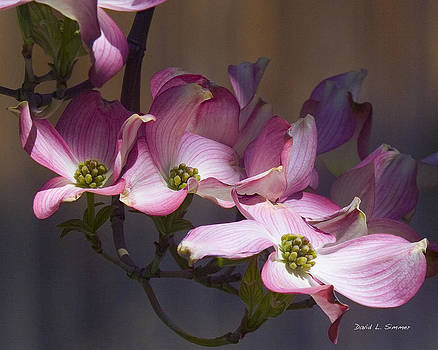 Dogwood by David Simmer