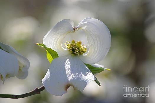 Tannis  Baldwin - Dogwood flower