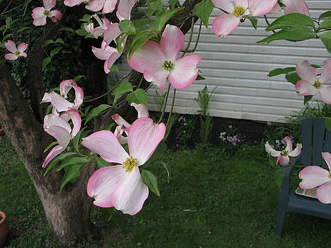 Dogwood in bloom by Mark C Ettinger