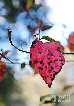 Wayne Nielsen - Dogwood Leaf - Red Leaf Falling with Watching Buds